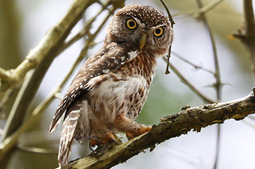 Cuban pygmy owl watching for prey.